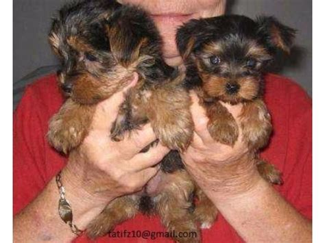 teacup yorkies for sale in west virginia and adorable teacup yorkie puppies available for free adoption animals