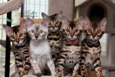 bengal cat colors bengal info