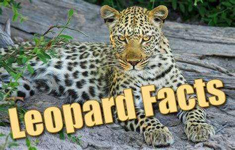 Why Do Jaguars Spots Leopard Facts For Information Pictures Activities