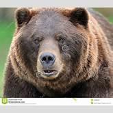 Closeup portrait of a male grizzly bear (Ursos arctos).