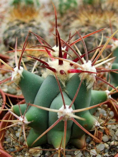 Succulent Planters ferocactus emoryi emory s barrel cactus world of