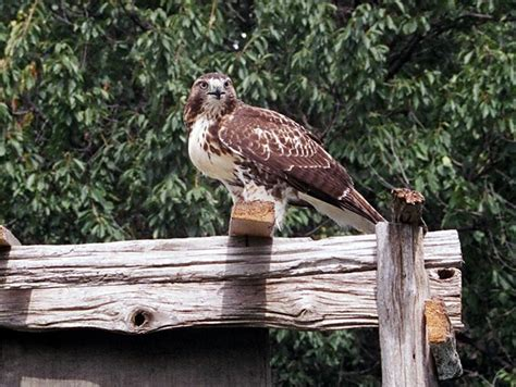 the canadian peregrine foundation