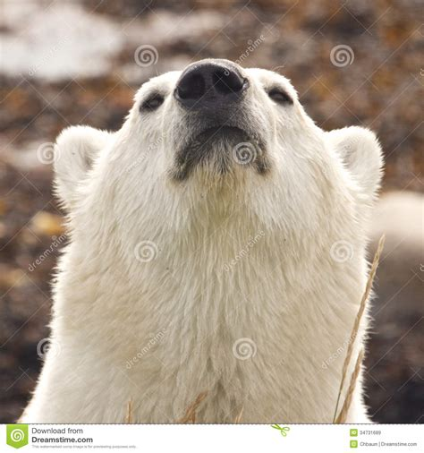 sniffing polar portrait royalty free stock images image 34731689