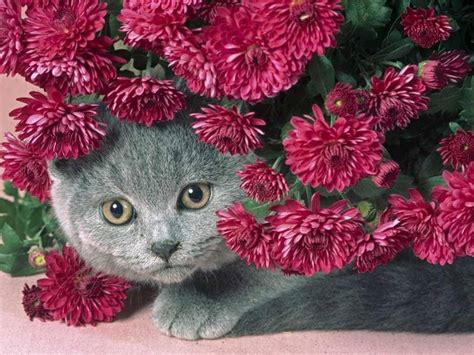 gatti persiani carattere gatto persiano carattere pelo lungo il carattere