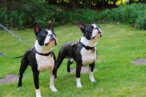 boston terrier puppies price boston terrier puppies for sale price list best boston breeders websites
