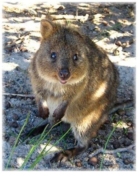 google images quokka 815 best images about wombats quokkas on pinterest