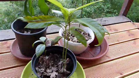 Planter Un Noyau D Avocat Germ by Planter Un Noyau D Avocat Kr41 Jornalagora