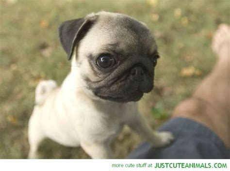 baby pug dogs pug lol animal and baby dogs
