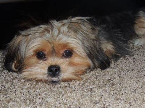 my yorkie shakes a lot 17 best images about all about on yorkie food and pets