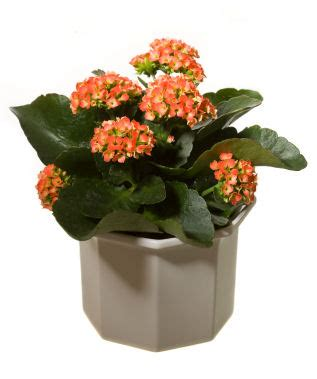 most common flowering house plants kalanchoe anyone grower direct fresh cut flowers presents