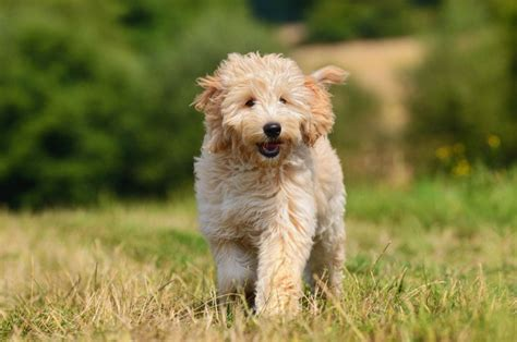 goldendoodle puppy facts goldendoodle breed information buying advice photos