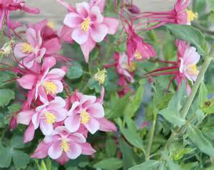 the gallery for gt pink columbine flower