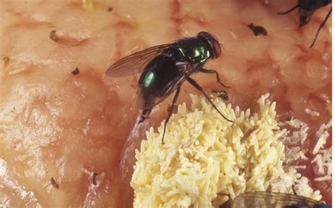 where do house flies lay eggs where do house flies lay eggs 28 images flies pictures information classification