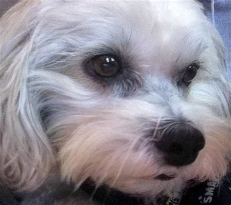 shih tzu basset hound mix auggie the shih tzu mix dogs daily puppy