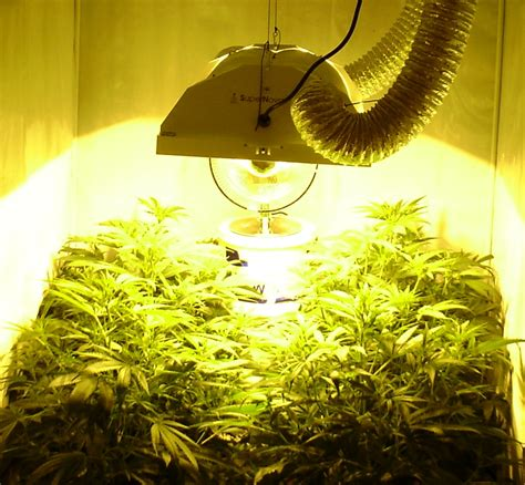 which light to grow cannabis all about cannabis