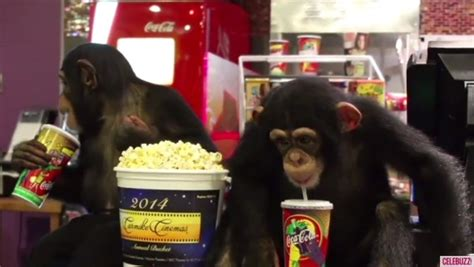 can pugs eat popcorn they re just like us chimps attend of the planet of the apes screening
