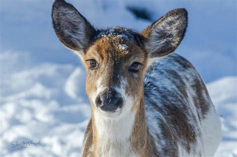do deer see color leucism from the field