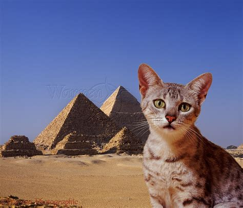 Egyptian Mau cat with pyramids photo WP05327