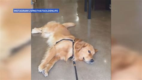 how heavy do golden retrievers get this golden retriever doesn t want to leave the pet store abc news