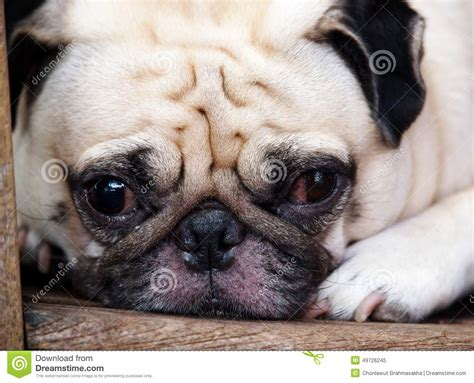 pug fathead pug stock image image of curiosity breed implore 49726245