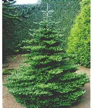 koreatanne weihnachtsbaum eichmatthof