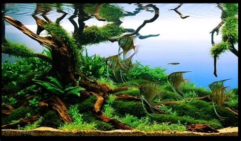 aquascape driftwood aga international aquascaping contest manzanita driftwood
