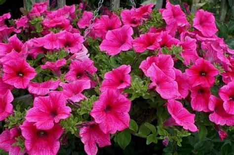 fiori surfinia surfinia piante da giardino coltivazione surfinie