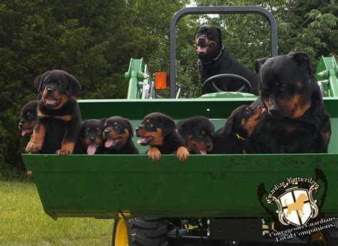 rottweiler puppy contract with breeder from guardian rottweilers