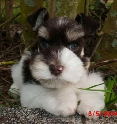 schnauzer puppies florida 17 best ideas about mini schnauzer puppies on miniature schnauzer