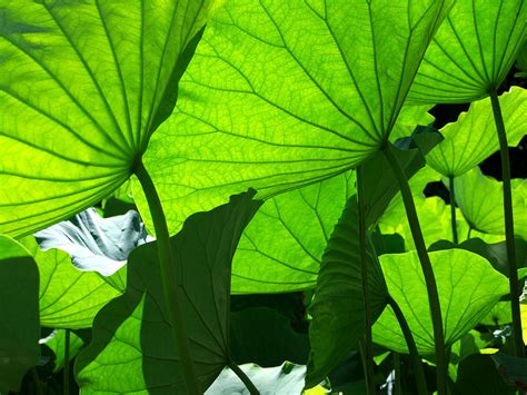 Canopy Of Leaves a canopy of lotus leaves photograph by larry knipfing