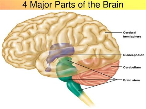 three main sections of the brain ppt anatomy of the brain powerpoint presentation id