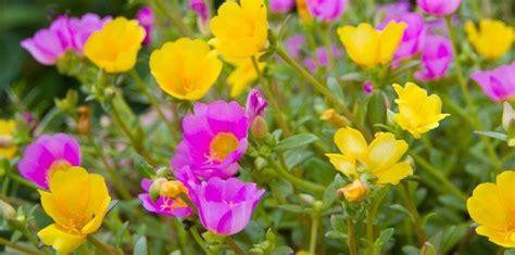 fiori per aiuola fiori da aiuola