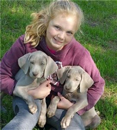 weimaraner puppies for sale near me puppies for sale near me free puppies puppies for adoption