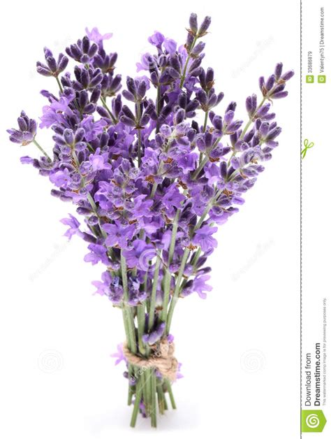 Madika Lavender bunch of lavender royalty free stock images image 33686879