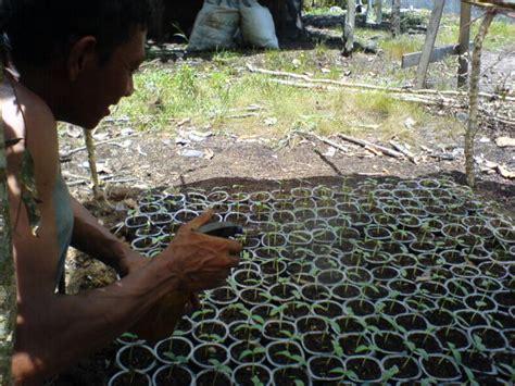 tanaman timun tanamanbaru