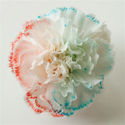 color changing carnations color changing flowers