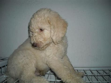 poodle puppies for adoption standard poodle puppies for sale adoption from selangor klang adpost classifieds