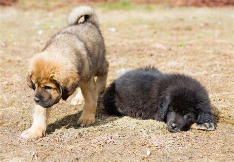 akc mastiff puppies for sale tibetan mastiff puppies for sale akc puppyfinder