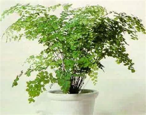 Tanaman Hias Daun Suplir Microfilm contoh tanaman hias hidroponik untuk mempercantik rumah