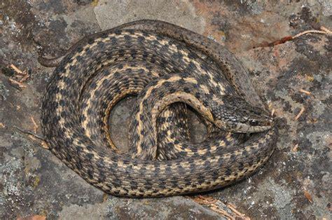 Garter Snake Oregon Western Terrestrial Gartersnake Thamnophis Elegans