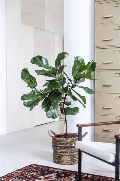 ficus lyrata mooi wat planten doen