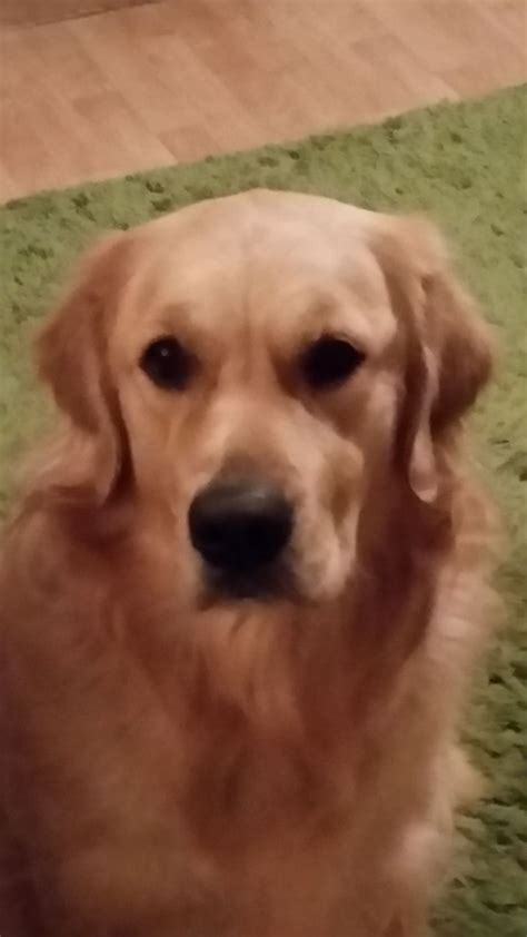 golden retriever neutering age for sale to loving home 2yr neutered derby