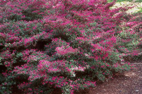 top 28 flowering bushes for partial shade 2 dwarf azalea evergreen pink flowering shrubs