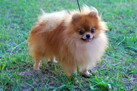 pomeranian puppy temperament pomeranian temperament exercise and grooming inspirationseek
