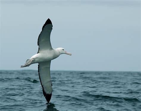 l albatro testo l albatros de baudelaire
