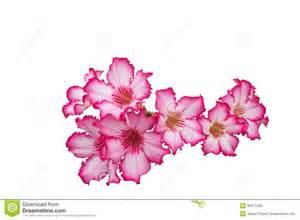 Stargazer Lily Bouquet Desert Rose Impala Lily Mock Azalea Stock Photo Image 35471430