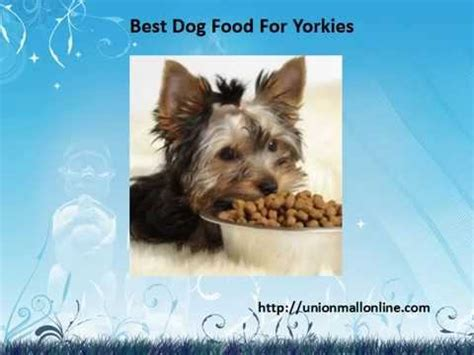 best food for yorkie puppies yorkie gets excited for food doovi