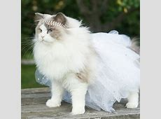 CULTURE N LIFESTYLE — The Most Regal, Friendly and Fluffy ... Fluffiest Kittens In The World