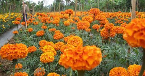 Jual Bibit Bunga Gumitir Di Bali prospek budidaya bunga gumitir yang menjanjikan petani top