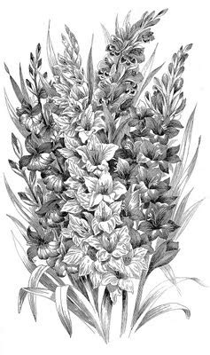 vintage clip art black  white gladiolus engraving